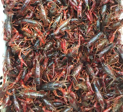 2020年如何应对当前小龙虾市场变动?养殖户如何降本增效