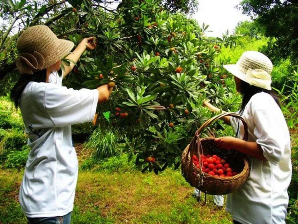 这种水果长虫了也能吃,收获期仅20多天,产量高却卖得很贵